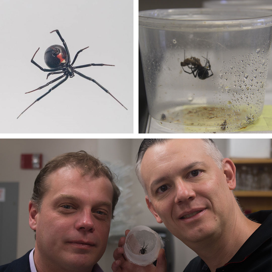 Three images of spiders and researchers holding spider